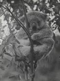 Fully grown male koala asleep in a tree, Healesville Sanctuary, Victoria, 1947 / Axel Poignant