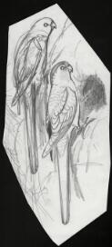 Parrots of the world, 179 preparatory sketches / by William Cooper