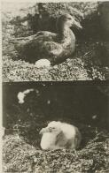 With the Discovery in the Antarctic: (January, 1930.) Two scenes which illustrate the history of the giant petrel