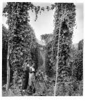 Carter, Jeff, 1928-2010. Hop vines in full flower [picture] /