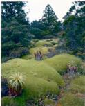 Dombrovskis, Peter, 1945-1996. Cushion plants, Mount Anne, southwest Tasmania, 1982 [picture] /
