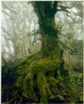 Dombrovskis, Peter, 1945-1996. Myrtle tree in rainforest at Mount Anne, southwest Tasmania, 1984 [picture] /