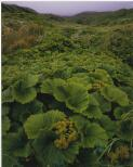 Dombrovskis, Peter, 1945-1996. Macquarie Island cabbage at Finch Creek, Macquarie Island, Tasmania, 1984 [picture] /