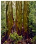 Dombrovskis, Peter, 1945-1996. Eucalypt trunks in rain, Pine Valley, Tasmania, 1987 [picture] /