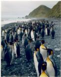 Dombrovskis, Peter, 1945-1996. King penguins near Sandy Bay, Macquarie Island, Tasmania, 1984 [picture] /
